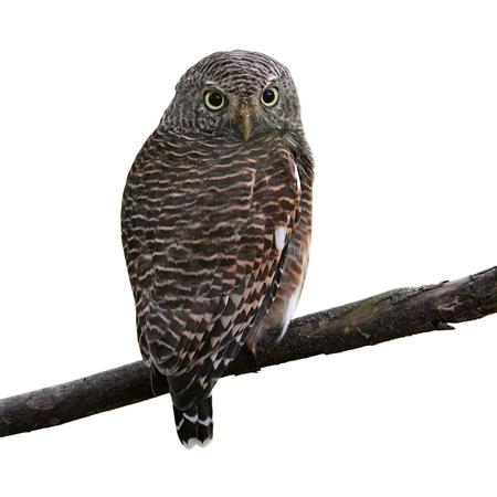 owlet: Asian Barred Owlet (Glaucidium cuculoides) on white background