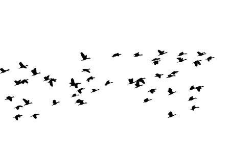 aloft: a flock of flying birds, silhouette