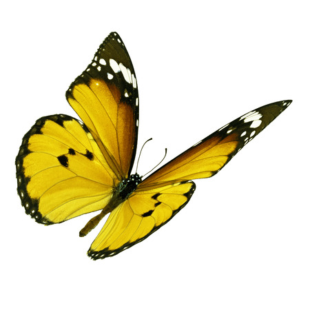north american butterflies: Beautiful yellow monarch butterfly flying isolated on white background Stock Photo