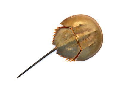 herradura: Asia del cangrejo de herradura (Tachypleus tridentatus) aislado en el fondo blanco.