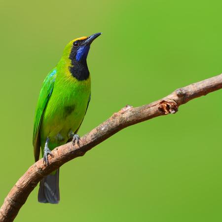 perching: Beautiful green bird (Golden-fronted Leafbird, Chloropsis aurifrons) perching on a branch