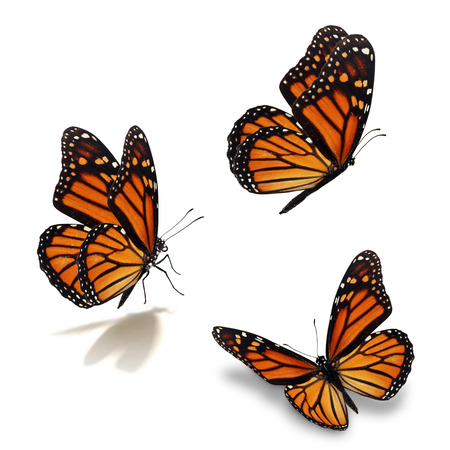 Hermosa mariposa monarca tres, aislado en fondo blanco
