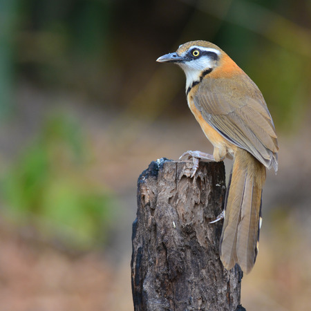 garrulax: Beautiful of Laughingthrush Bird, Lesser-necklaced Laughingthrush standing on the log showing its side profile Stock Photo
