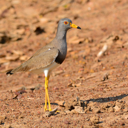 lapwing: Beautiful Grey-headed Lapwing bird (Vanellus cinereus) standing on the ground. Stock Photo