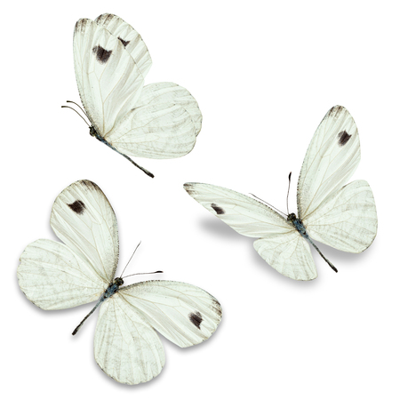 american butterflies: Three white butterfly, isolated on white background