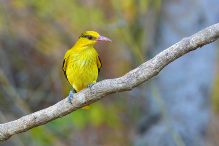 oriole: Beautiful black and yellow bird (Black-naped Oriole, Oriolus chinensis) perching on a branch Stock Photo