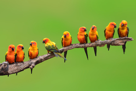 exotic birds: Nine of Sun Conure Parrot bird perching on a branch on green background Stock Photo