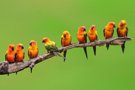 papagayo: Nueve de Sun Conure que se encarama pájaro en una rama en fondo verde
