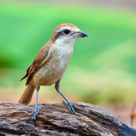 yellow tailed: Beautifu brown bird (Brown Shrike, Lanius cristatus) sitting on stump