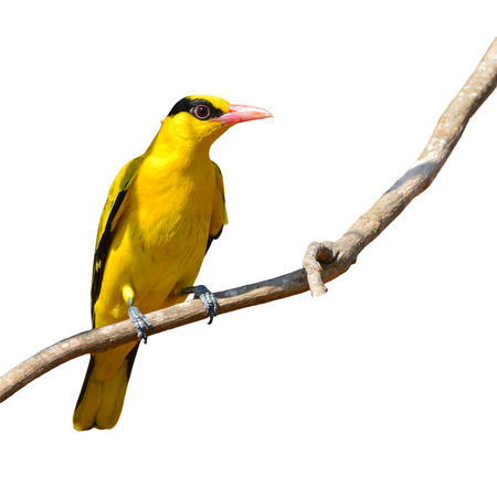oriole: Beautifu black and yellow bird (Black-naped Oriole, Oriolus chinensis) perching on a branch isolated on white background Stock Photo