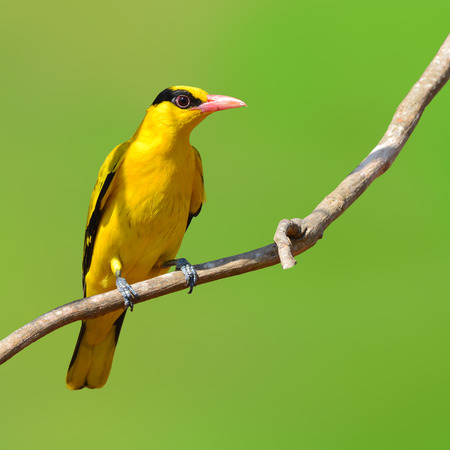 oriole: Beautifu black and yellow bird (Black-naped Oriole, Oriolus chinensis) perching on a branch Stock Photo