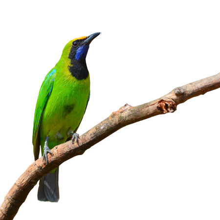 perching: Beautiful green bird (Golden-fronted Leafbird, Chloropsis aurifrons) perching on a branch isolated on white background Stock Photo