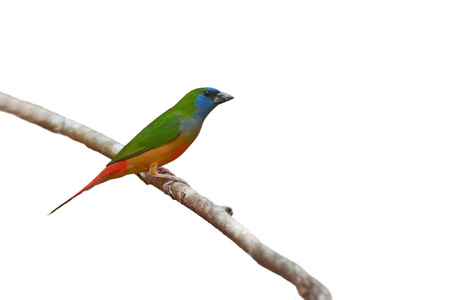 prasina: beautiful Pin-tailed Parrotfinch (Erythrura prasina) bird perching on a branch on white background