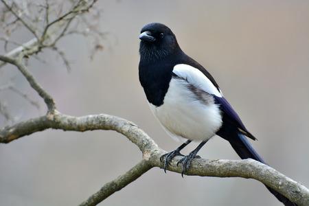 pica: Beautiful Eurasian magpie, European magpie, Common magpie (Pica pica) bird perching on a branch, closeup.