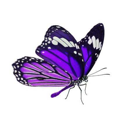 danaus: Beautiful purple monarch butterfly isolated on white background Stock Photo