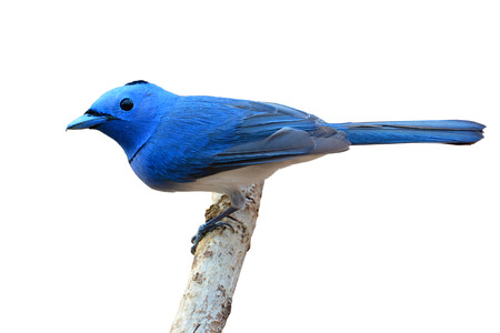 napped: Male of Black-naped Monarch bird (Hypothymis azurea) standing on a branch, white background.
