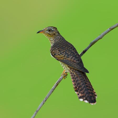 plaintive: Beautiful bird, female of Plaintive Cuckoo (Cacomantis merulinus) perching on a branch.
