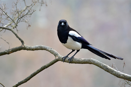 Beautiful Eurasian magpie, European magpie, Common magpie (Pica pica) bird perching on a branch. 版權商用圖片