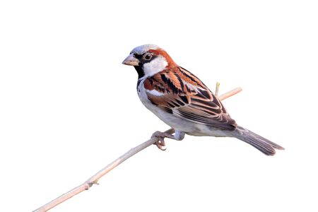 passe: Beautiful bird, House Sparrow (Passer domesticus) perching on a branch, white background. Stock Photo