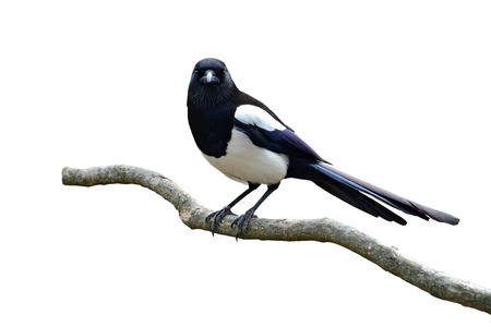 pica: Beautiful Eurasian magpie, European magpie, Common magpie (Pica pica) bird perching on a branch, white background.