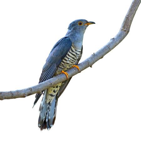 plaintive: Beautiful bird, Himalayan Cuckoo (Cuculus saturatus) perching on a branch on white background, bird of Thailand Stock Photo