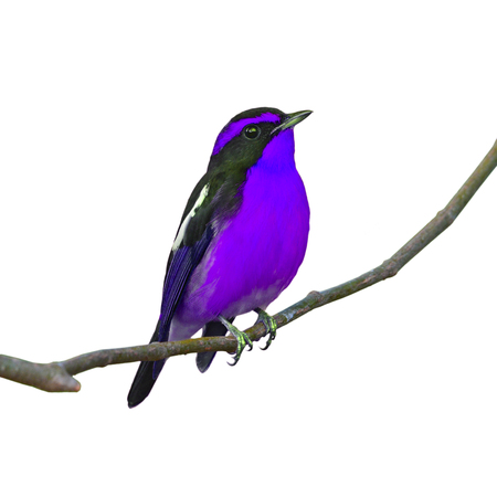 perching: Beautiful black and purple bird, perching on the branch, white background.