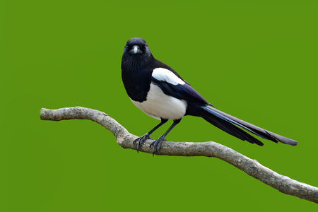pica: Beautiful Eurasian magpie, European magpie, Common magpie (Pica pica) bird perching on a branch, green background. Stock Photo
