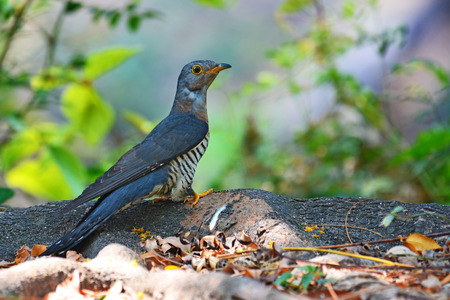 plaintive: Beautiful bird, Indian Cuckoo (Cuculus micropterus) standing on a root of tree ,bird of Thailand