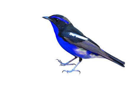 inter: Beautiful black and blue bird on white background.