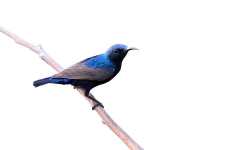 asiatica: Beautiful bird, male of Purple Sunbird (Cinnyris asiatica) perching on a branch, on white backgrond.