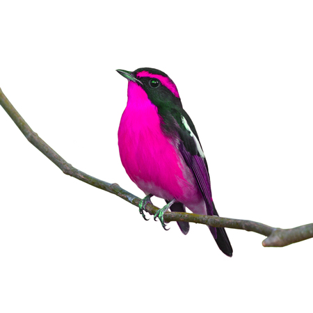 inter: Beautiful black and pink bird, perching on the branch, white background. Stock Photo