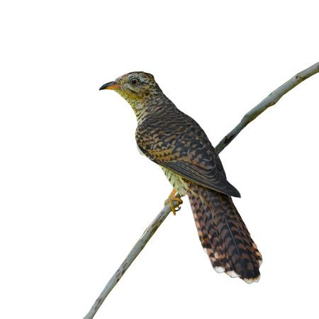 plaintive: Beautiful bird, female of Plaintive Cuckoo (Cacomantis merulinus) perching on a branch on white background.