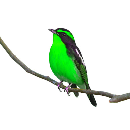 inter: Beautiful black and green bird, perching on the branch, white background.