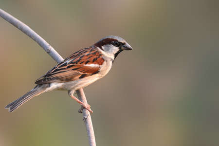 domesticus: Beautiful bird, House Sparrow (Passer domesticus) perching on a branch. Stock Photo