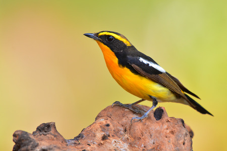 fascinate: Beautiful black and yellow, Male of Narcissus Flycatcher (ficedula zanthopygia) standing on the log.