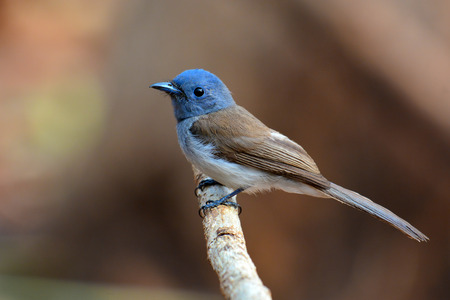 napped: Female of Black-naped Monarch bird (Hypothymis azurea) standing on a branch,Thailand