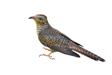 plaintive: Beautiful bird, female of Plaintive Cuckoo (Cacomantis merulinus) on white background.