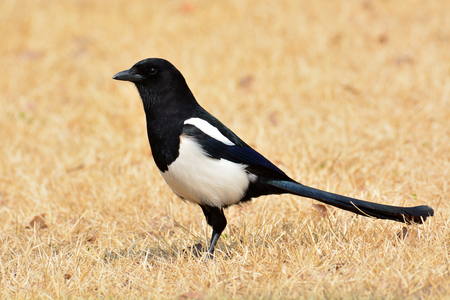 pica: Beautiful Eurasian magpie, European magpie, Common magpie (Pica pica) bird standing on a ground.