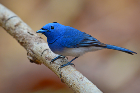 napped: Male of Black-naped Monarch bird (Hypothymis azurea) standing on a branch,Thailand
