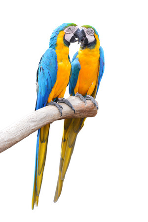 ararauna: Couple of blue and gold macaw parrots isolated on withe background Stock Photo