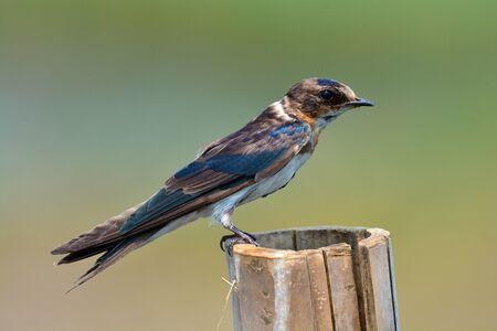 perching: Beautiful bird, Barn Swallow (Hirundo rustica) perching on a branch.