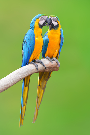 Couple of blue and gold macaw parrots isolated on green background Stock Photo