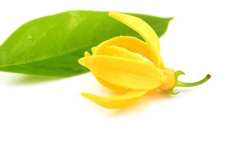 odorous: Beautiful Ylang-Ylang Flower on white background