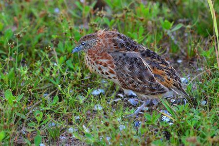 Beautiful bird, Small Buttonquail (Turnix sylvatica) on green grass.