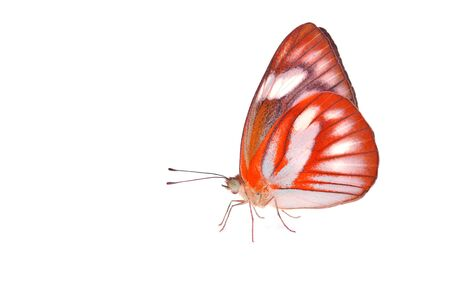 feelers: Beautiful orange butterfly isolated on white background