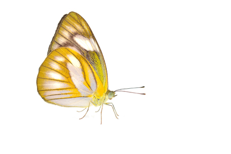 feelers: Beautiful yellow butterfly isolated on white background