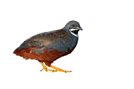 Beautiful Bird, King quail, Blue-breasted quail, Asian blue quail (Coturnix chinensis) taken in Thailand, white background.