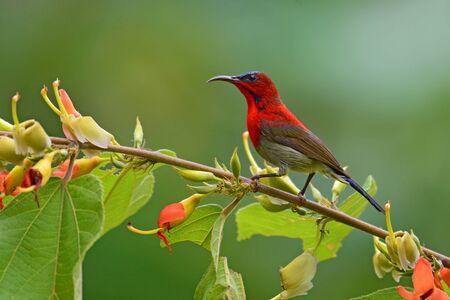 pecker: Beautiful red sunbird, Crimson Sunbird (Aethopyga siparaja) perching on a branch. Stock Photo