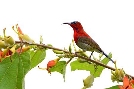 sunbird: Beautiful red sunbird, Crimson Sunbird (Aethopyga siparaja) perching on a branch, white background