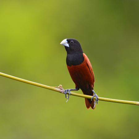 black headed: Beautiful bird, Black headed Munia bird (Lonchura malacca) perching on a branch, Thailand
